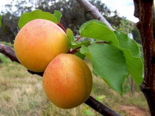 Выращивание абрикоса фото: технология посадки,