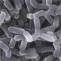 Пробиотики и пребиотики: описание