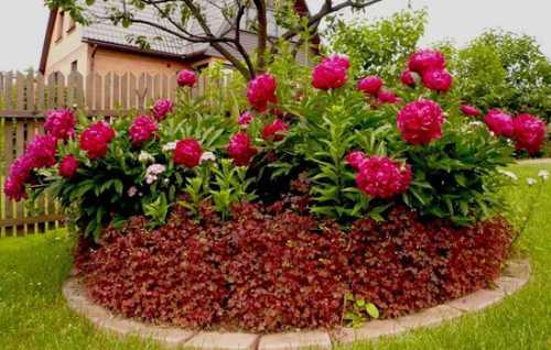 Как вырастить пионы, выбираем семена и посадочный